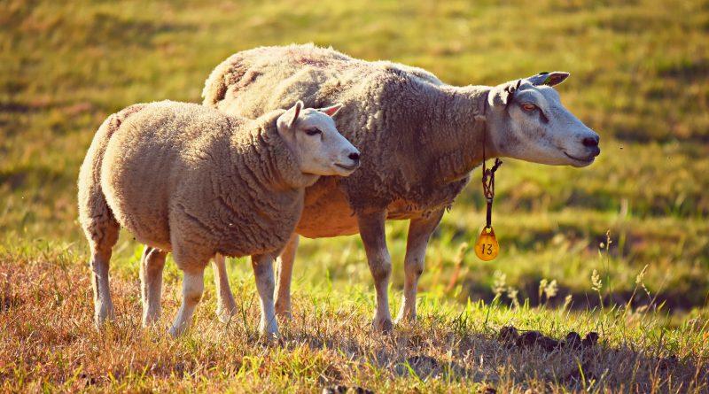 Schafe auf einer Weide - schauen verdutzt