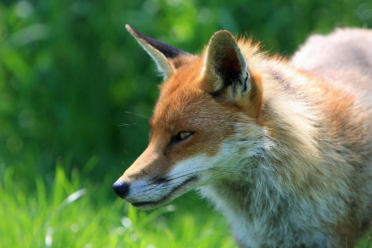 Firefox-Fuchs oder auch nur ein normaler Rotfuchs. :)