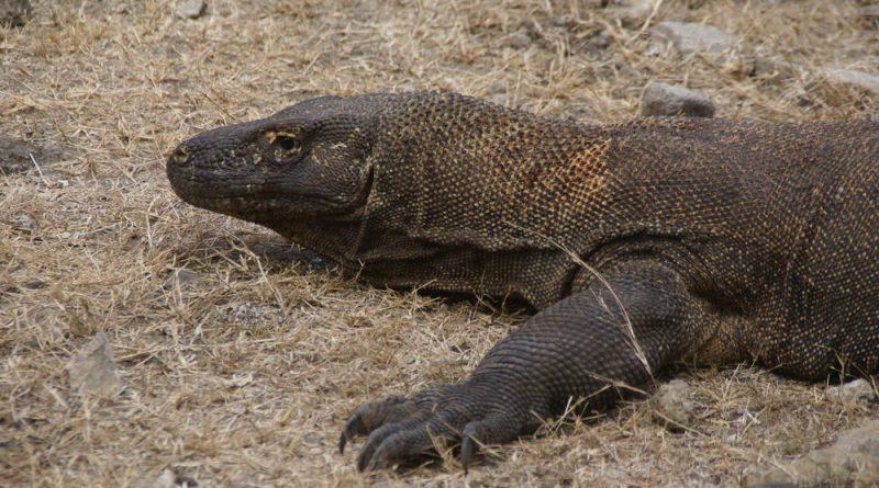 Komodo Waran